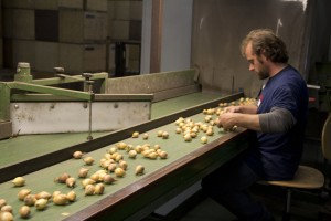 Packing organic onions at Aaldering