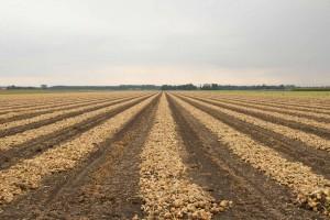 Drying organic onions in the sun
