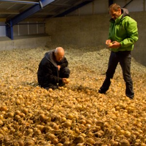 Organic onions in cold store