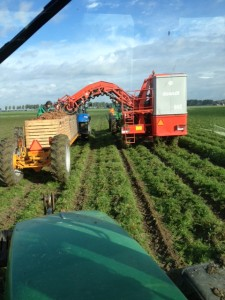 Harvesting organic carrots at Biostee, in the Southwest of Holland