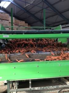 Organic carrots are roughly graded before loading to remove undersize and soil
